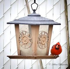 IMG_3663-1 (Helene Bassaraba) Tags: cardinal oiseau
