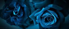 Rosas en el quinto color. (marijejor) Tags: flores nikon rosas 3100 azules