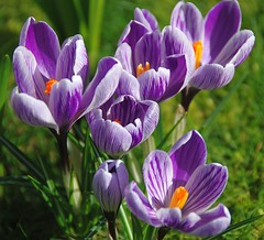 The Beauty of Crocuses Always Puts a Spring in My Step! (antonychammond) Tags: flowers orange green spring purple crocus crocuses thegalaxy topshots photosandcalendar flowerarebeautiful thebestofmimamorsgroups greatshotss theoriginalgoldseal mixofflowers ruby10 ruby15 ruby20 naturesplus