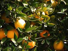 PB282110 South Pasadena 20131128 (caligula1995) Tags: tree oranges southpasadena 2013