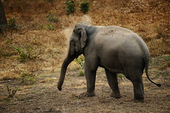 Tuskless bull Asian Elephant in Huai Kha Khaeng wildlife sanctuary (tontantravel) Tags: wild elephant asian thailand wildlife indian elephants wilderness sanctuary huai maximus asianelephant asiatic kha elephasmaximus indianelephant asiaticelephant wildelephant elephas indianelephants asianelephants asiaticelephants wildelephants khaeng huaikhakhaengwildlifesanctuary huaikhakhaeng thungyaihuaikhakhaengwildlifesanctuaries tontantravel tontantravelcom
