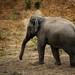 Tuskless bull Asian Elephant in Huai Kha Khaeng wildlife sanctuary