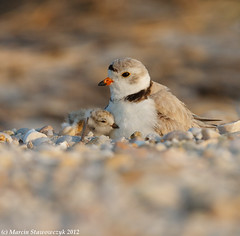 Another hug (v4vodka) Tags: nature animal wildlife chick birdwatching plover pipingplover shorebird charadriusmelodus pipingploverchick birdbirding sieweczkablada