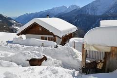 (Abra K.) Tags: winter snow switzerland ticino goats  capre capreziosa