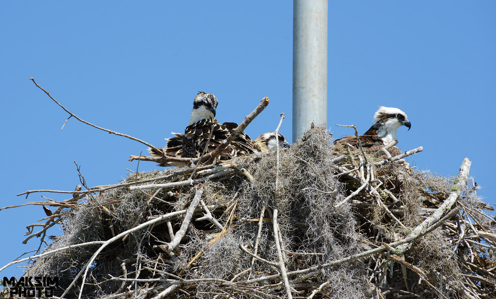 eagle nest cougars personals The greatest distance from open water recorded for a bald eagle nest was over 3 km (19 mi),  an early natural history video depicting a cougar.