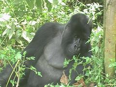 Gorilla Leaning