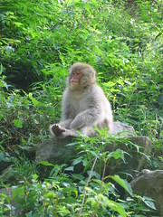 Japanese Monkey in Contemplation