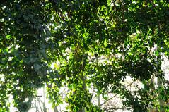 Ivy Light (EJ Images) Tags: park uk trees england tree slr woodland suffolk woods nikon nef branches ivy dslr eastanglia lowestoft 2014 nikonslr d90 nikondslr pakefield nikond90 18105mmlens pakefieldpark dsc89501