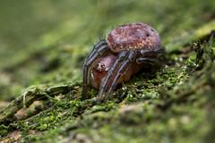 Woodland Spider (TimGarlick) Tags: uk macro spider wildlife arachnid leeds arachnida gledhowvalley