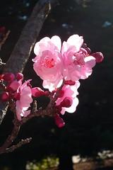 Signs of Spring (John-Morgan) Tags: california berkeley spring blossoms plumblossoms johnmorgan