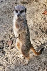 Meerkats at Paradise Wildlife Park (gary8345) Tags: animal animals zoo meerkat meerkats 2015 snapseed