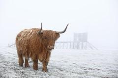 Grand froid (Philippe POUVREAU) Tags: winter france cow cattle hiver highland loire highlandcattle vache mammifère 2014 paysdelaloire estuaire bovin pêcherie corsept paysderetz