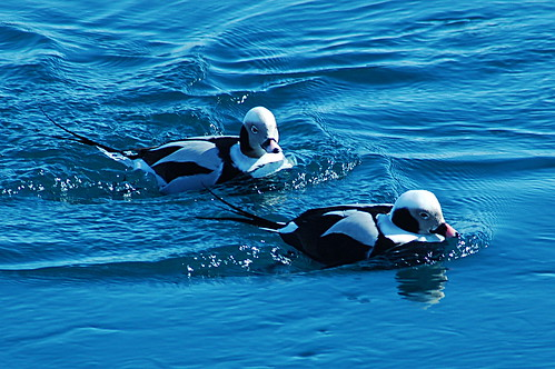 Long-tailed Duck 2015-02-27 (20)