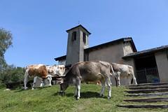 Chiesetta di S. Gerolamo (raffaele pagani (away for honeymoon)) Tags: italy canon cattle cows di provincia grazing comolake lagodicomo valsassina camaggiore leccoitaliaitalynorth