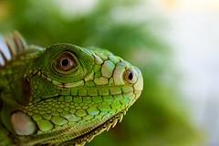 Curious Iguana (two-messie) Tags: macro green nature colors closeup sony sharp iguana curious a7 sonya7