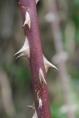Don't even try (Cefn Ila) Tags: stem thorns rosacanina