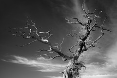 Lightning Tree (Russ Barnes Photography) Tags: blackandwhite tree mono nikon monochromatic infrared warwickshire d800 720nm russbarnes zeiss50mmf2zf2