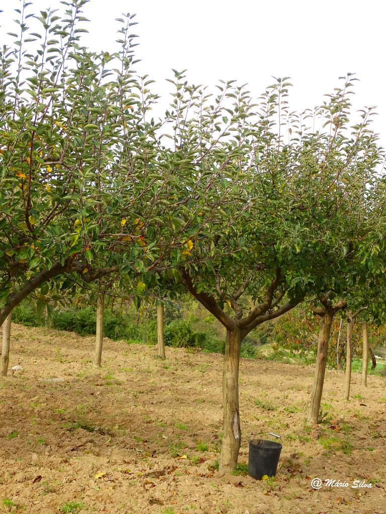Águas Frias (Chaves) -... macieiras ... e o balde já à espera do fruto