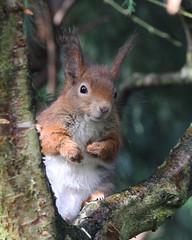 RED SQUIRREL (SCIURUS VULGARIS), BRITISH WILDLIFE CENTRE. (Gary K. Mann) Tags: trees winter red england canon squirrel wildlife centre british vulgaris sciurus