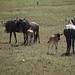 wildebeest calves