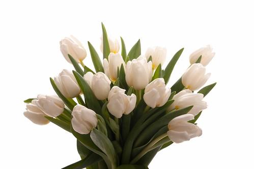 white-tulips-bunch-1_1