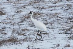 IMG_4644-1 Whooping Crane (John Pohl2011) Tags: bird canon john crane waterfowl 100400mm wading pohl t4i 100400mmlens canont4i
