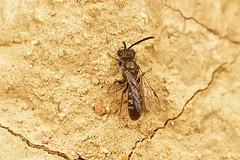 Lasioglossum cf. morio (henk.wallays) Tags: