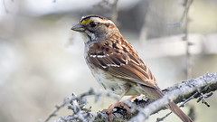 Gros Morne - White-throated Sparrow (Paul Clark SJ) Tags: canada newfoundland grosmorne whitethroatedsparrow 2016 bakersbrook nlphoto