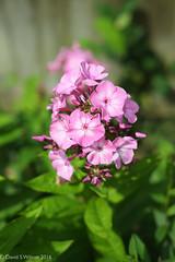 Phlox In Pink (David S Wilson) Tags: england flowers fujinonxf35mmf2wr flowersplants fujifilmxpro1 flower ely adobelightroom6 davidswilson uk fens