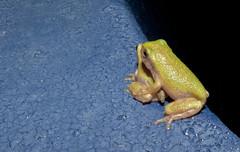 The Frog Hatchery 6 (DarkOnus) Tags: macro texture pool closeup swimming lumix pennsylvania gray cement frog panasonic textures tadpoles monday 2d eastern treefrog buckscounty tadpole mondays hatchery flickrphotowalk macrotextures macromondays dmcfz35 darkonus thefroghatchery