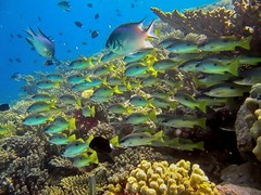 Lutjanus ehrenbergii - Black spot snappers (By Yves) Tags: red sea coral egypt diving reef hurghada