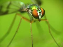 Dolichopodid Fly (treegrow) Tags: nature insect washingtondc rockcreekpark arthropoda diptera lifeonearth dolichopodidae raynoxdcr250 condylostylus taxonomy:genus=condylostylus canonpowershotsx40hs