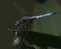 DragonFly_SAF9720 (sara97) Tags: copyright2016saraannefinke dragonfly flyinginsect insect missouri mosquitohawk nature odonata outdoors photobysaraannefinke predator saintlouis towergrovepark urbanpark