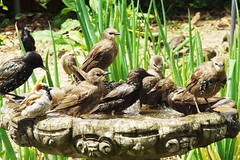 Odd Man Out ... ☺ (Tricia in Kent UK ....☺) Tags: birds garden outdoors birdbath sparrows starlings oddmanout mrsparrow