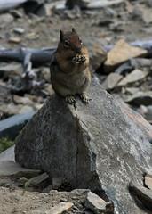 Snack time on Sourdough Ridge (suswann) Tags: mtrainiernationalpark golden mantled goldenmantledgroundsquirrel squirrel