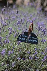 IMG_7788 (ElsSchepers) Tags: limburglavendel lavendelhoeve stokrooie kuringen hasselt natuur vlinders