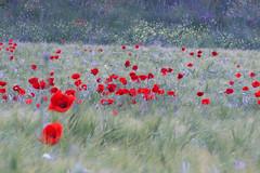 Reselles iv (ea5dfv) Tags: papaver roselles amapolas red