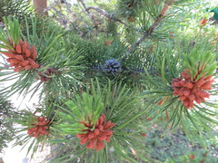 Young pine cones (Joel Abroad) Tags: jacksonhole wyoming visitorcenter pinecones