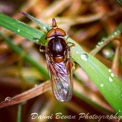 Little Fly (dannibevan18) Tags: fly insect bigeyes dewdrops raindrops nikon macro twobridges nature