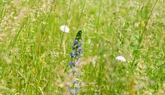Jun 9: Sunny Forest Meadow Flora 5 (johan.pipet) Tags: flickr prroda priroda nature summer leto jar spring lka meadow forest greenwood grass flowers sunny detail slovakia bratislava dbravka devn dbravsk hlavica highland hill eu europe palo bartos barto canon