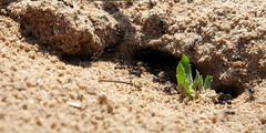 02-070505 Spanien 5 033-1 (hemingwayfoto) Tags: ameise andalusien cotadonana europa insekt nationalpark natur nest radtour reise sand schwarz spanien