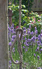 Bellrope and Lavender (amandabhslater) Tags: flowers rose garden strawberry lavender aquilegia poppy achillea agapanthus campanula crocosmia phlox borage cirsium thyme gentian eryngium stipa filipendula helenium edelwiess silkweaversway