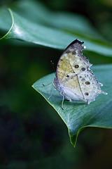 Salamis Parhassus  butterfly / vlinder (BossAL) Tags: tropical butterfly vlinder tropisch salamis parhessus