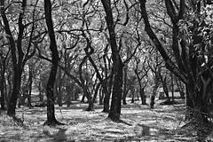 Floresta Negra (Bert'sPhotos) Tags: parque brazil bw paraná brasil blackwhite pb bosque floresta blackforest pretoebranco outono foz árvores fozdoiguaçu arvoredo monocromático forêtnoire florestanegra blancoenegro bosquenegro outono2016