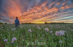 Dorset Opium Poppy Sunrise (Emily_Endean_Photography) Tags: sunrise poppy field dorset countryside morning fire colour pink red nikon