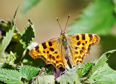 Comma (dlanor smada) Tags: aylesbury bucks chilterns butterflies orange