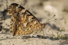 Distelvlinder - Vanessa cardui - Painted lady (merijnloeve) Tags: vanessa macro lady painted nederland buterfly vlinder distelvlinder cardui