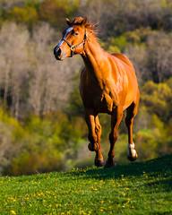 2015-May-0049.jpg (farmergregphoto) Tags: gallop horse