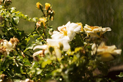 primotar meyer 135mm floreal (andreabotti567) Tags: meyer 135mm primotar fujifilmxe1