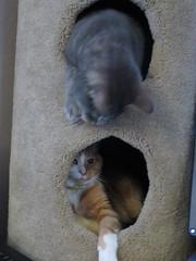 Pest (andrea z) Tags: cat orangecat newton percy graycat cattower